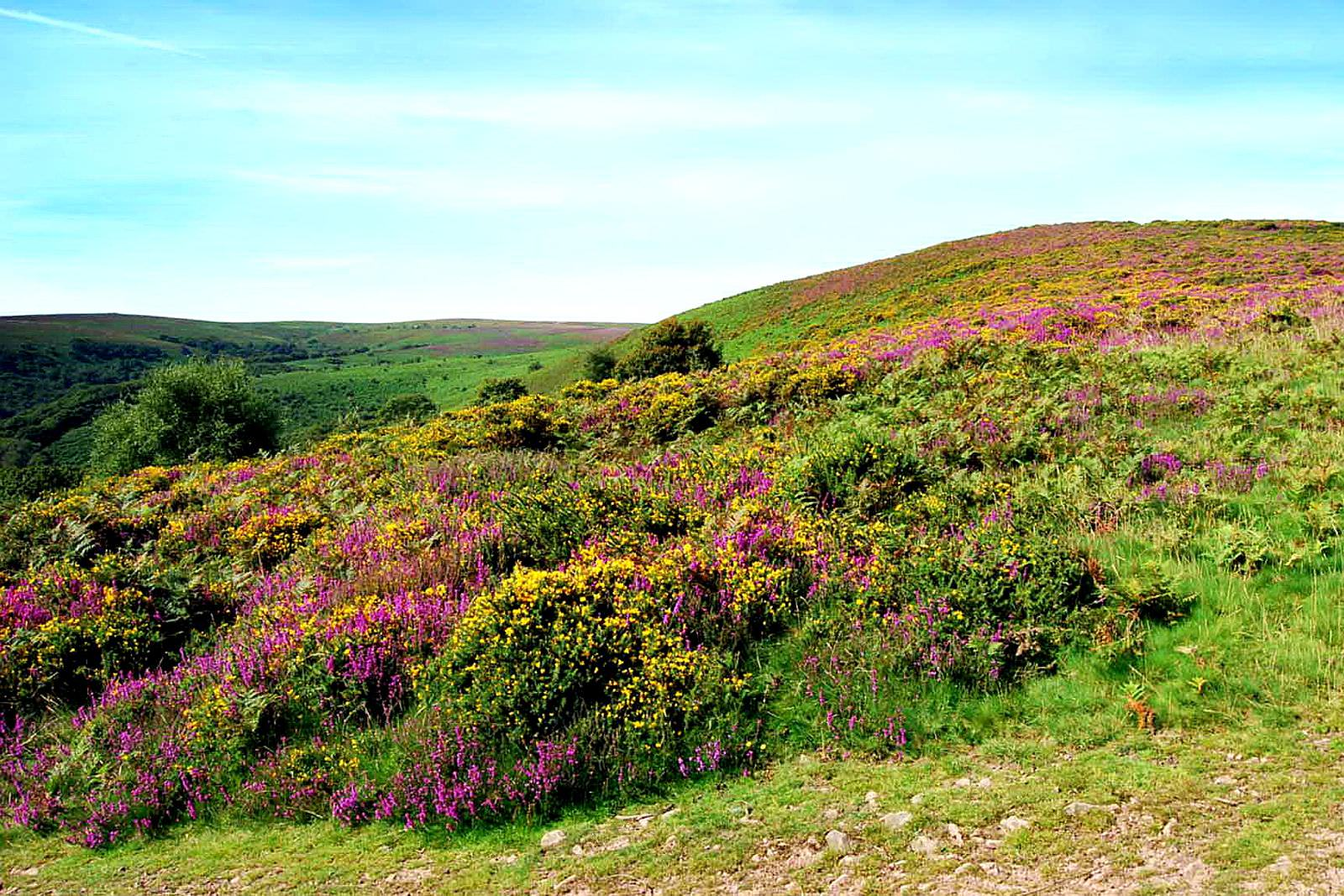 Heather growing on the Quantock hills